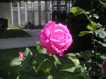 rodin museum paris - rose