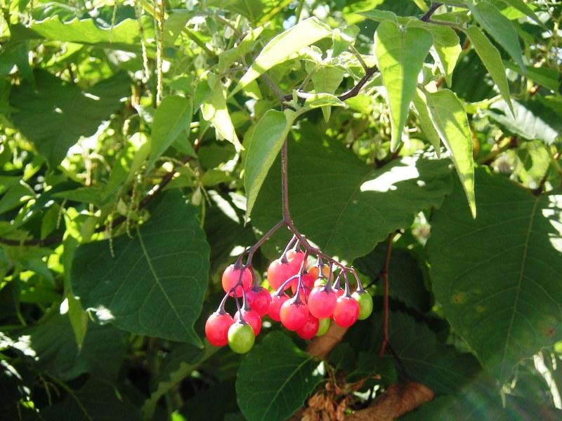 Berries_2