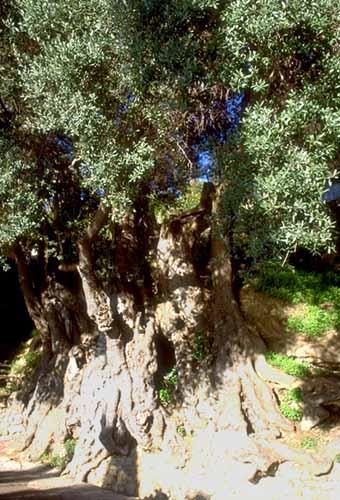 Olive_tree_2