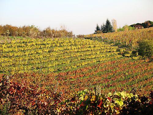 Quercia rossa vineyard