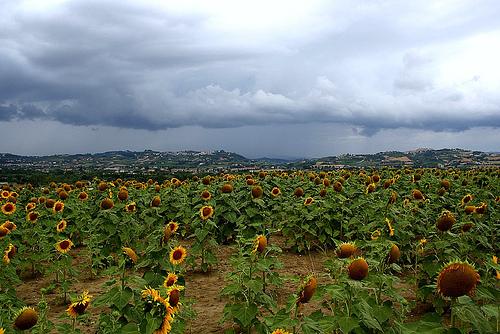 Sunflowers Ascoli Piceno