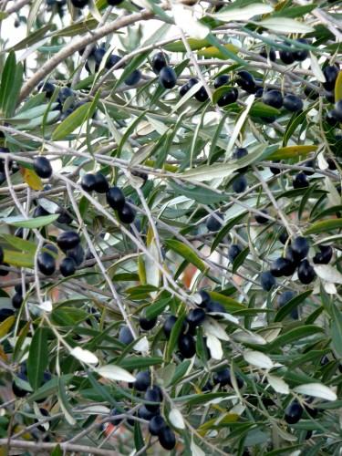 olives in puglia