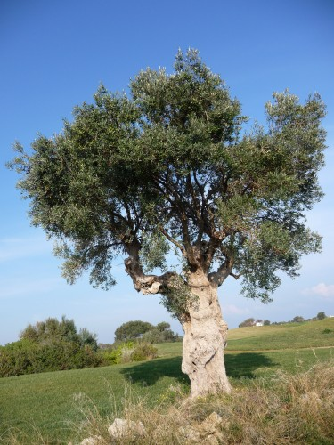 borgo egnazia olive tree