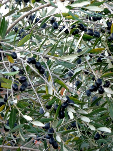 Puglia Olives and Olive Trees