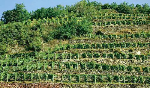 terraced vines nino negri vineyards